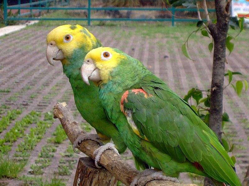 File:Yellow-headed Amazon (Amazona oratrix) - 2 on perch.jpg