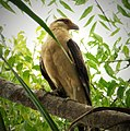 Yellow-headed Caracara Milvago chimachima - Flickr - gailhampshire (1).jpg
