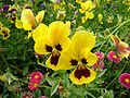 Yellow-pansy.jpg