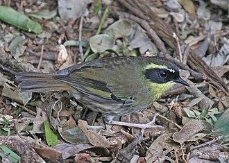 Yellow-throated scrubwren - In Lamington National Park, Queensland, Australia