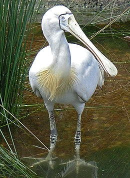 Yellow Billed Spoonbill PerthZoo SMC 2005.jpg