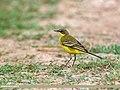 Yellow Wagtail (Motacilla flava) (38911641415).jpg