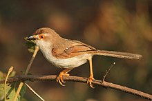 Yellow eyed babbler bt David Raju (cropped).jpg