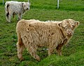 Young Highland Cattle.jpg