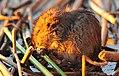 Young Muskrat Eating Hardstem Bulrush on Seedskadee National Wildlife Refuge (21984009442).jpg