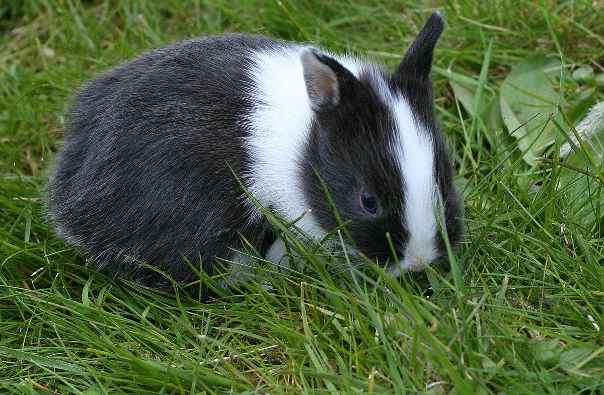 Young Netherland Dwarf rabbit.jpg
