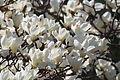 Yulan magnolia (Magnolia denudata) (16953983745).jpg