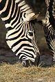 Züri Zoo Zebra.jpg