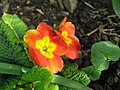 Zahradní petrklíč.jpg