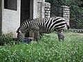 Zebra from Bannerghatta National Park 8643.JPG