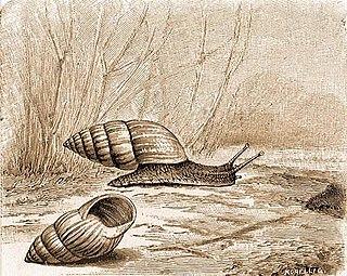 <i>Zebrina</i> genus of molluscs