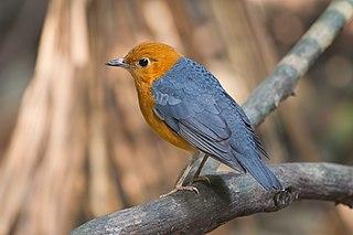Orange-headed thrush species of bird