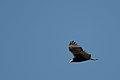 Zopilote Sabanero, Lesser Yellow Headed Vulture, Cathartes burrovianus (11915868646).jpg