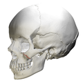 Zygomaticomaxillary suture - skull - lateral view01.png