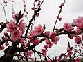 """"""" 13 - ITALY - Peaches in bloom - spring flowers of tree fruit 03 Prunus persica.JPG"""