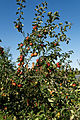 'Malus Rajka' apple - Capel - Manor - Gardens - Enfield.jpg