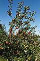 'Malus Rajka' apple - Capel - Manor - Gardens - Enfield.jpg