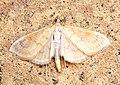 (1374) Paratalanta hyalinalis - Flickr - Bennyboymothman.jpg