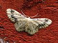 (1711) Treble Brown Spot (Idaea trigeminata) (9200872808).jpg