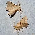 (1915) September Thorn (Ennomos erosaria) (4771928859).jpg
