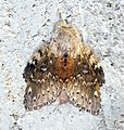 (1999) Lobster Moth (Stauropus fagi) - Flickr - Bennyboymothman.jpg