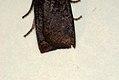 (2259) Dark Chestnut (Conistra ligula) (4045248779).jpg