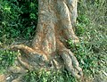 (Mangifera indica) Tree bark view at Kambalakonda.JPG