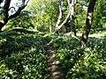 """Ścieżka do zamku, po obu stronach """"dywan"""" z czosnku niedźwiedziego - panoramio.jpg"""