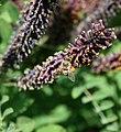 Бджола медоносна (Apis mellifera) 03.jpg
