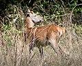 Благородный олень - Cervus elaphus - Red deer - Благороден елен - Rothirsch (37373937950).jpg
