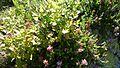 Боровинка(Vaccinium myrtillus) - panoramio.jpg