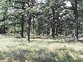 Вікові діброва (парковий тип садово-паркового лашафту). Урочище Голендерня.jpg