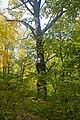Дуб на Сетомлі, парк Нивки.jpg