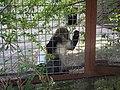 Зелёная мартышка в Ялтинском зоопарке.jpg