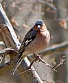 Зяблик - Fringilla coelebs - Common chaffinch - Обикновена чинка - Buchfink (33796527665).jpg