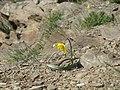 Королівські скелі Тюльпан бузький-2.jpg