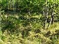 Купини пухівки піхвової в заболоченому лісі.jpg