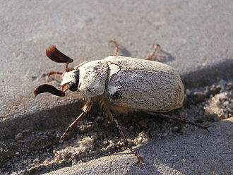 Melolonthinae - Male Polyphylla alba (Melolonthini)