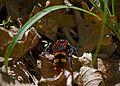 Сколия-гигант - Megascolia maculata - Gelbstirnige Dolchwespe (26990355113).jpg