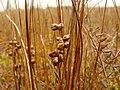 Шейхцерия болотная (Красная книга Московской области) на Куниловском болоте.JPG