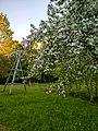 Яблони на закате.jpg