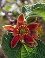 גרויה שעירה - Grewia villosa.jpg