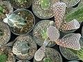 گلخانه کاکتوس دنیای خار در قم. کلکسیون انواع کاکتوس 10.jpg