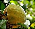 മുട്ടപ്പഴം Egg Fruit (Pouteria campechiana)).jpg
