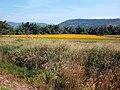 ทุ่งดอกดาวเรือง Marigold field - panoramio (1).jpg