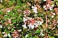 აბელია დიდყვავილა Abelia grandiflora großblättrige Abelie.JPG