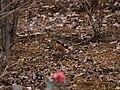 ジョウビタキ (尉鶲-常鶲) (Daurian redstart) (Phoenicurus auroreus Pallas)-雄 (7254245724).jpg
