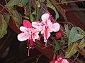 倒掛金鐘 Fuchsia Swingtime -麗江古城 Lijiang City, China- (9252395549).jpg