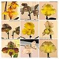 兜蘭 Paphiopedilum cultivars 1 -台南國際蘭展 Taiwan International Orchid Show- (26080131657).jpg