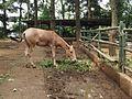 南京红山森林动物园骡 - panoramio.jpg